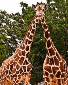 giraffes_davidandbecky_flickr